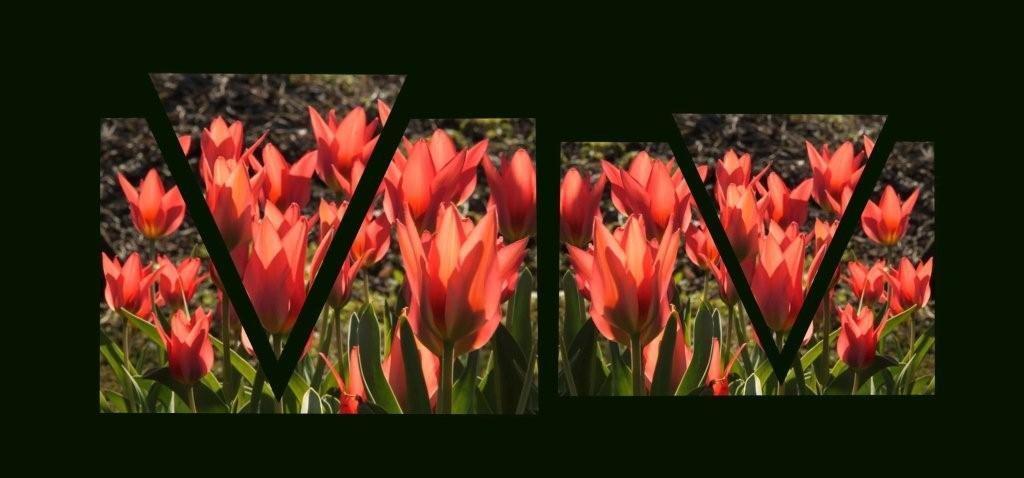 tulipanova.jpg