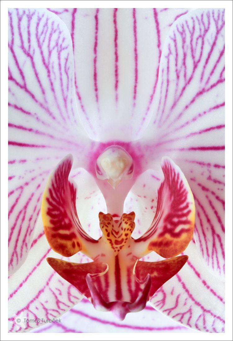 Phalaenopsis_VIII.jpg